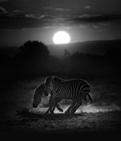 Two zebras running with rising sun in background, Kenya