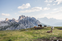 Cows grazing on highlands with rocky mountains in background, Alps, Italy