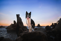 Border collie dog on beach, Lloret de Mar, Catalonia, Spain