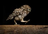 Little owl walking on wood