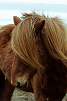 Brown Icelandic horse, Iceland