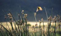 Yellow bird flying over dry flowers, Tanzania