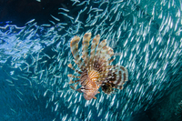 Red lionfish(Pterois volitans)hunting school of bait fishes, Dampier Strait, Raja Ampat, Indonesia