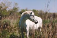 Wild horse in grass, Camargue, France