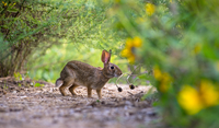 Portrait of wild rabbit in bushes, Ontario, Canada