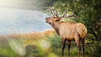 Elk yelling next to lake, Estes Park, Colorado, USA
