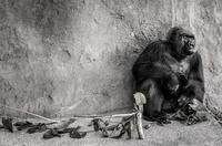 Female western gorilla (Gorilla gorilla) sitting