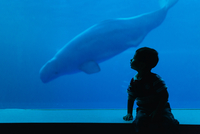 Boy(6-7)watching beluga whale(Delphinapterus leucas)in aquarium