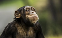 Portrait of chimpanzee, Wellington ZOO, Wellington, New Zealand