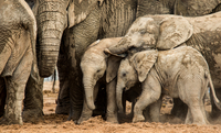 Elephants with cubs, Port Elizabeth, South Africa