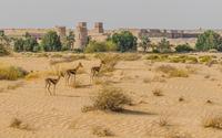 Arabian gazelles(Gazella arabica)in desert and remote ancient architecture, Dubai, United Arab Emirates