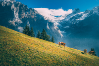 Cows (Bos taurus) grazing in steep pasture in Alps mountains, Grindelwald, Switzerland