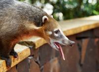 Impudent Coati