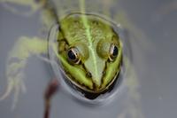 Froggy #1 11098076193| 写真素材・ストックフォト・画像・イラスト素材|アマナイメージズ