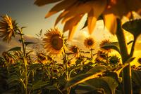 Wonderful Sunset 11098076232| 写真素材・ストックフォト・画像・イラスト素材|アマナイメージズ