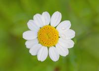 Mini Daisy 11098076242| 写真素材・ストックフォト・画像・イラスト素材|アマナイメージズ