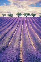 Lavender field with trees 11098076398| 写真素材・ストックフォト・画像・イラスト素材|アマナイメージズ