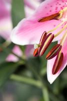 Lily 11098076421| 写真素材・ストックフォト・画像・イラスト素材|アマナイメージズ