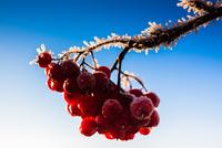 Frost On The Rowan Berries 11098076504| 写真素材・ストックフォト・画像・イラスト素材|アマナイメージズ