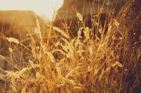 Sunlight pouring through wild grass 11098076688| 写真素材・ストックフォト・画像・イラスト素材|アマナイメージズ