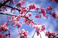 cherry blossom 11098076689| 写真素材・ストックフォト・画像・イラスト素材|アマナイメージズ