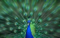 Peacock 11098076707| 写真素材・ストックフォト・画像・イラスト素材|アマナイメージズ