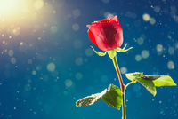 Happy Valentine 11098076749| 写真素材・ストックフォト・画像・イラスト素材|アマナイメージズ