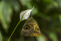 Owl Butterfly 11098076879| 写真素材・ストックフォト・画像・イラスト素材|アマナイメージズ