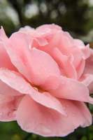 Pink Passion 11098076884| 写真素材・ストックフォト・画像・イラスト素材|アマナイメージズ