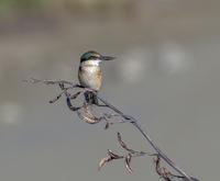 Kingfisher on flax flower 11098077061| 写真素材・ストックフォト・画像・イラスト素材|アマナイメージズ