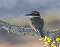 Kingfisher Sunset 11098077065| 写真素材・ストックフォト・画像・イラスト素材|アマナイメージズ