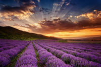 Lavender field 11098077113| 写真素材・ストックフォト・画像・イラスト素材|アマナイメージズ