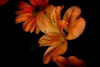 Small Orange Lilly 215 11098077125| 写真素材・ストックフォト・画像・イラスト素材|アマナイメージズ