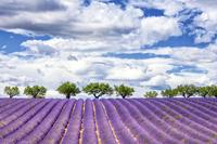 View of lavender field 11098077144| 写真素材・ストックフォト・画像・イラスト素材|アマナイメージズ