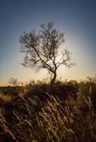 Desert tree 11098077225| 写真素材・ストックフォト・画像・イラスト素材|アマナイメージズ