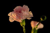Pink Carnation with Bud 42 11098077295| 写真素材・ストックフォト・画像・イラスト素材|アマナイメージズ