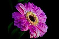 Gerbera Daisy in the Pink 411 11098077427| 写真素材・ストックフォト・画像・イラスト素材|アマナイメージズ