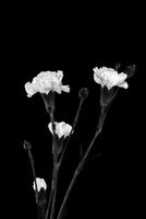 Carnations Black and White 331 11098077496| 写真素材・ストックフォト・画像・イラスト素材|アマナイメージズ