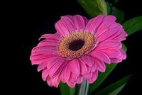 Pink Gerbera 412 11098077502| 写真素材・ストックフォト・画像・イラスト素材|アマナイメージズ