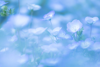 baby blue eyes 11098077684| 写真素材・ストックフォト・画像・イラスト素材|アマナイメージズ