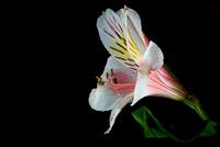 White Astroemeria 11098077685| 写真素材・ストックフォト・画像・イラスト素材|アマナイメージズ