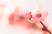 Blossom 11098077797| 写真素材・ストックフォト・画像・イラスト素材|アマナイメージズ