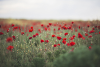 Poppies 11098077826| 写真素材・ストックフォト・画像・イラスト素材|アマナイメージズ