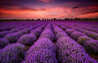 Lavender field 11098078040| 写真素材・ストックフォト・画像・イラスト素材|アマナイメージズ