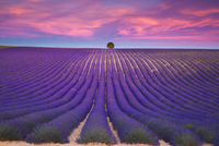 Lavender sunset 11098078047| 写真素材・ストックフォト・画像・イラスト素材|アマナイメージズ