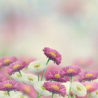Marguerite Flowers 11098078128| 写真素材・ストックフォト・画像・イラスト素材|アマナイメージズ