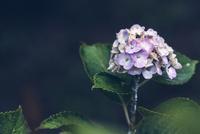 Hydrangea - https://500px.com/photo/118517327/ 11098078130| 写真素材・ストックフォト・画像・イラスト素材|アマナイメージズ