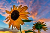 Sunflower on the sunset 11098078133| 写真素材・ストックフォト・画像・イラスト素材|アマナイメージズ