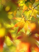 Autumn leaves 11098078183| 写真素材・ストックフォト・画像・イラスト素材|アマナイメージズ
