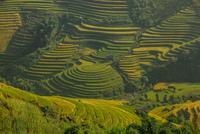 Rice fields on terraced of Vietnam 11098078223| 写真素材・ストックフォト・画像・イラスト素材|アマナイメージズ